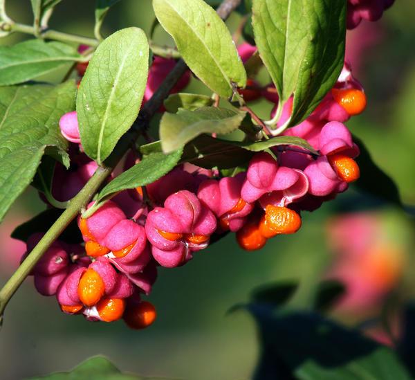 Плоды бересклета (Фото с сайта koffkindom.ru )