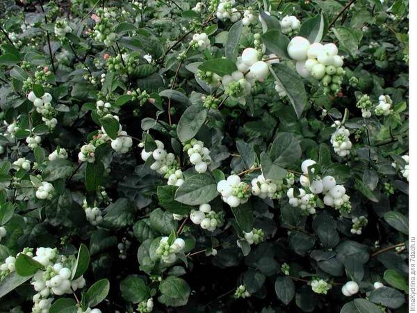 Снежноягодник - неприхотливое растение (Фото с сайта botanichka.ru)