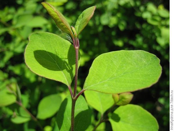 Зеленое черенкование проводят в июне (Фото с сайта plantarium.ru)