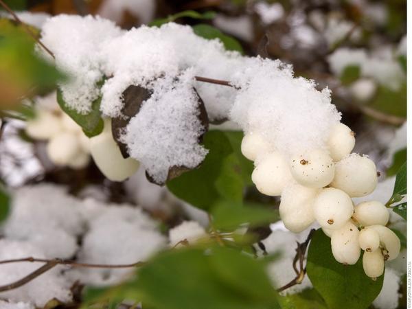 Снежноягодник белый - самый морозостойкий вид (Фото с сайта domocvet.com)