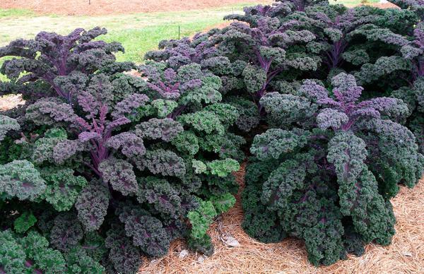 Кале - листовая овощная культура (Фото с сайта delenka-club.ru)