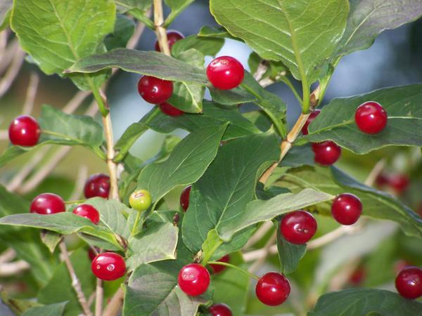 Яркие плоды жимолости альпийской (Фото с сайта academic.ru)