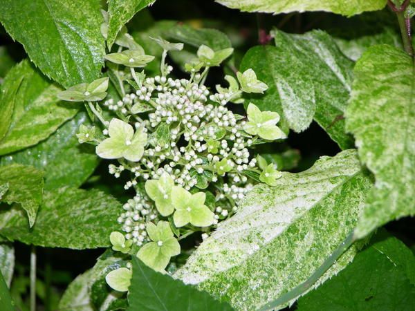 Сорт Shikoku Flash (Фото с сайта gardenplant-is.ru)