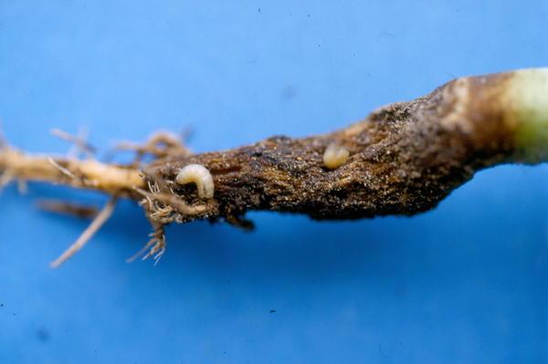 Личинка капустной мухи на пораженном растении. Фото с сайта wordpress.com