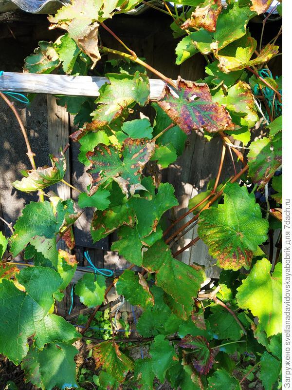 На виноградных листьях появились бурые пятна, края усыхают и скручиваются. Как называется болезнь винограда?