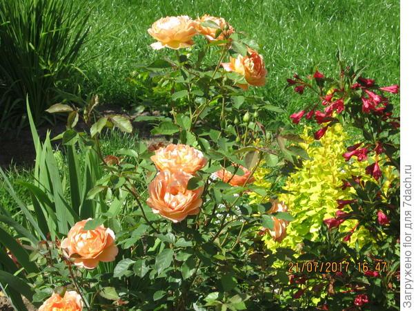 яркий жизнерадостный цветник с розой Леди Шалотт
