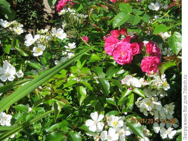 роза Филипп Кифтсгейт
