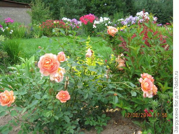 солнечная сторона лужайки. на переднем плане роза Леди Шалотт