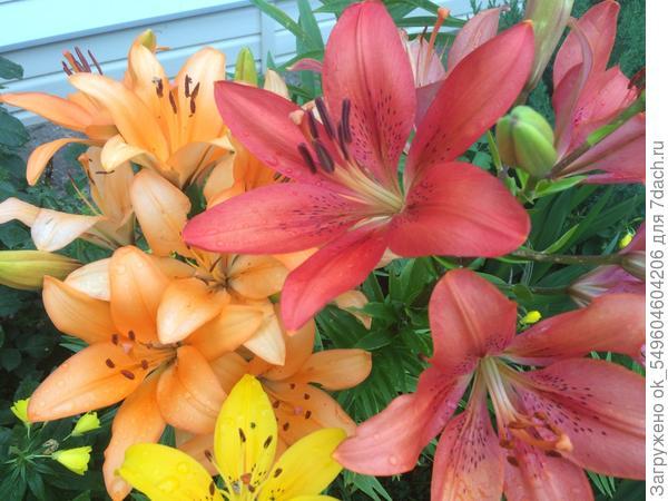 Мои лилии...