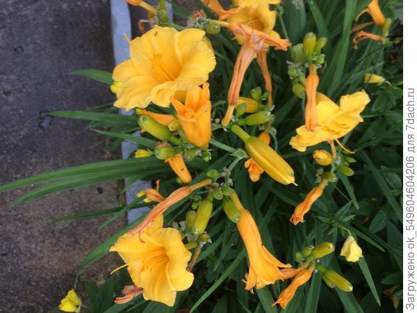 Этот лилейник на вид невзрачный....но все давно отцвели а он цветет до ноября!!!!!!