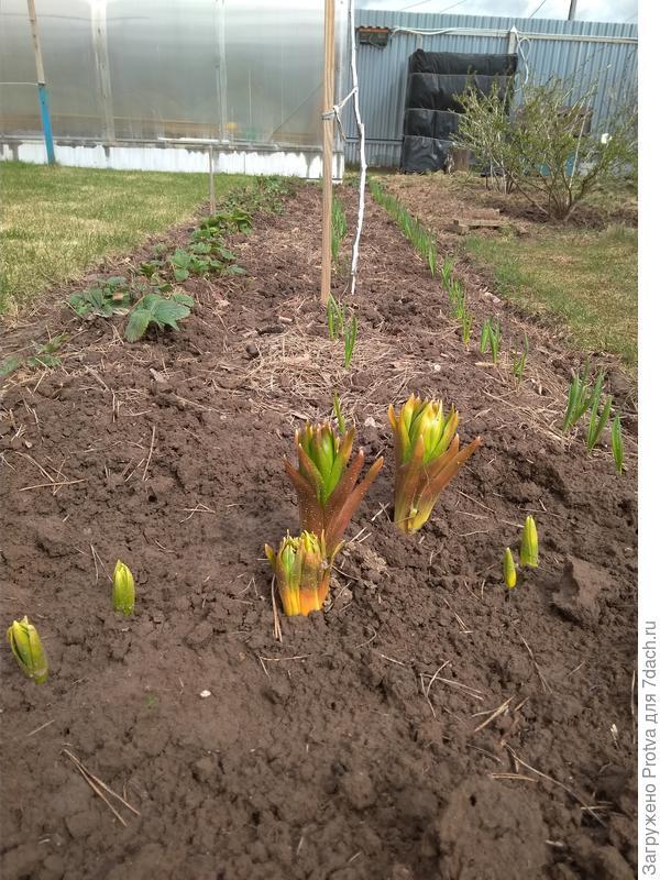 Пошли в рост рябчики. По центру 4 шт. выросли из одной луковицы.