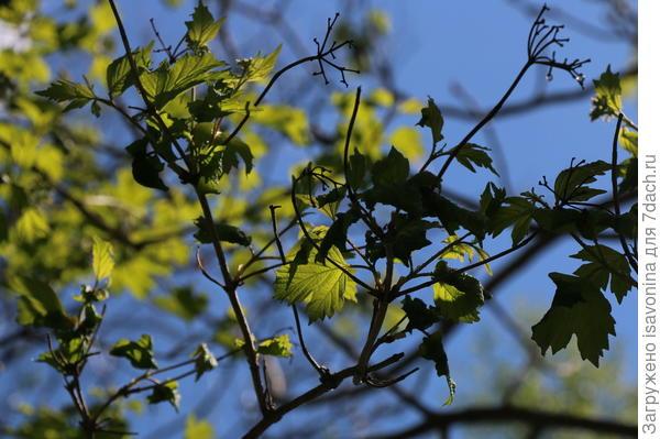 Через неделю листьев на калине может и не быть!
