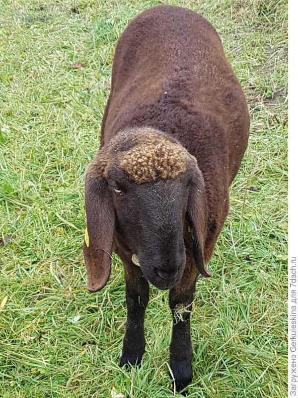 Австрийская овечка