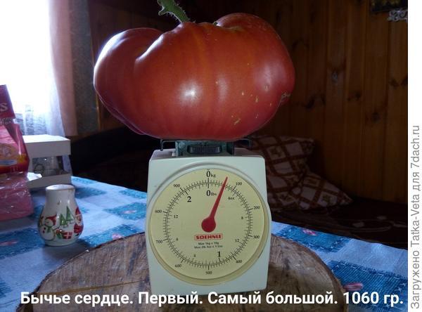 Очень вкусный помидор!