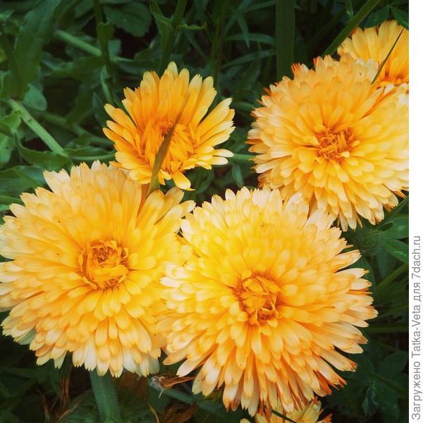 Красивый и очень полезный цветок...