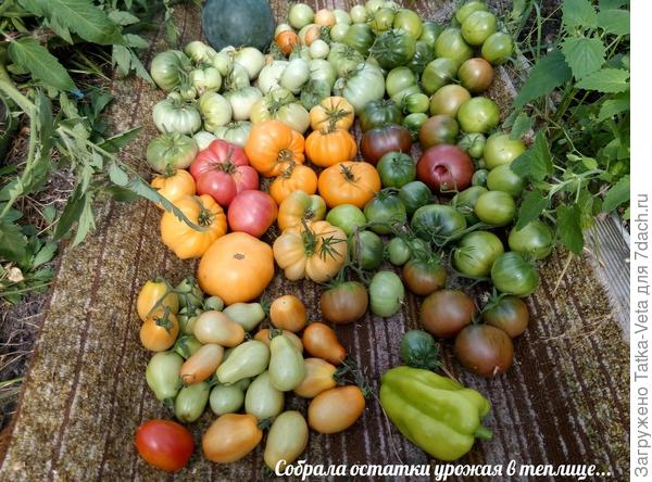 Последний урожай этого года из теплицы