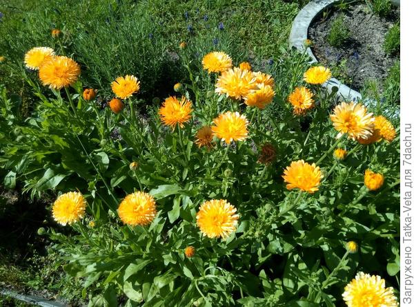 Очень яркий, солнечный цветок!