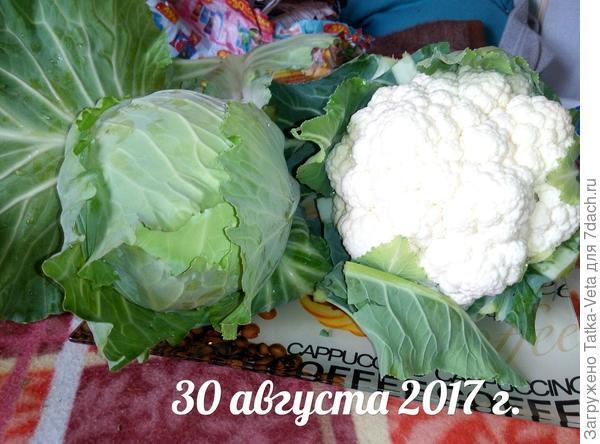 Капустный день))