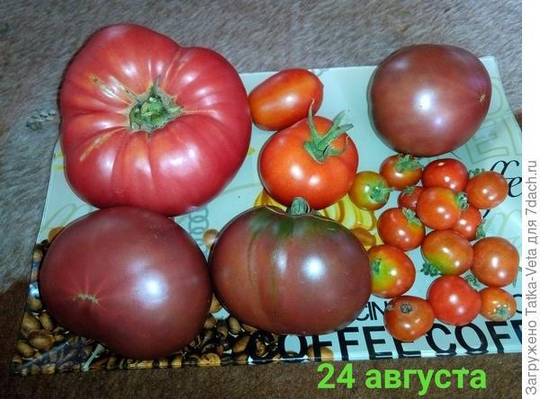 Самые вкусные помидоры те, что созрели на кустах!
