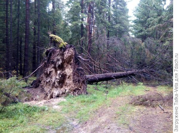 Приличный ураган прошел, такие деревья повалил!
