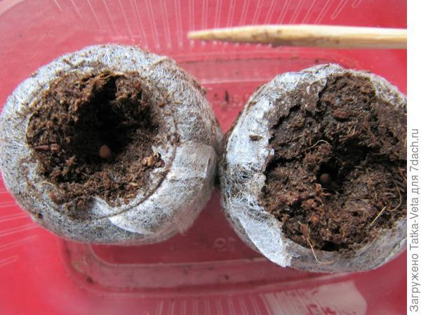 Семена поместила в торфяные таблетки.