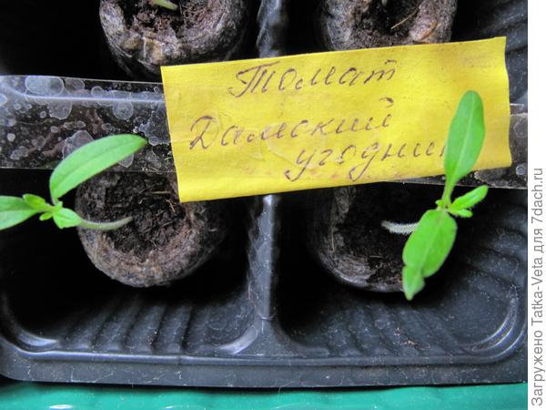 """Появление первых настоящих листьев у томата """"Дамский угодник"""" посаженных в торфяные таблетки."""