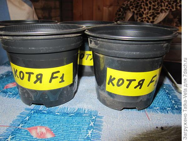 Горшочки для томата Котя f1.
