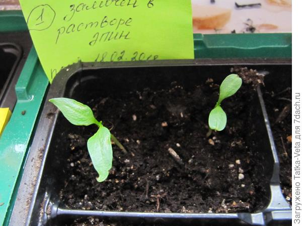 """Перец Большой куш """"1"""" - семена перед посевом были замочены в растворе Эпина (согласно инструкции на упаковке препарата)"""