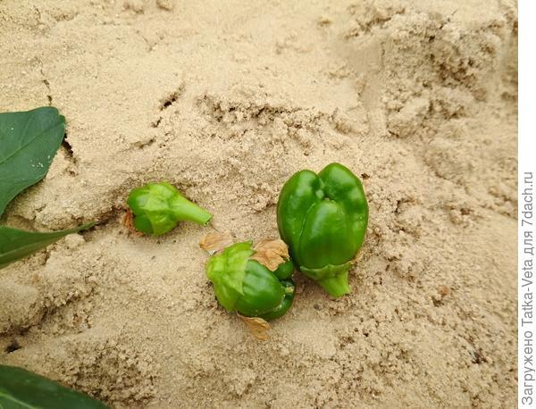 Оставшиеся завязи, которые не успели вырасти и стать полноценными плодами.