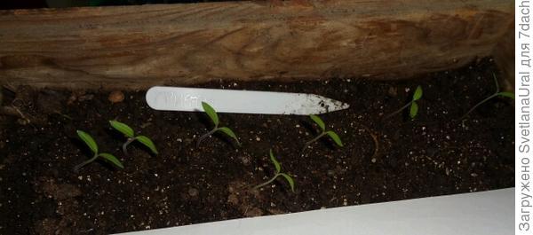 Семь ростков