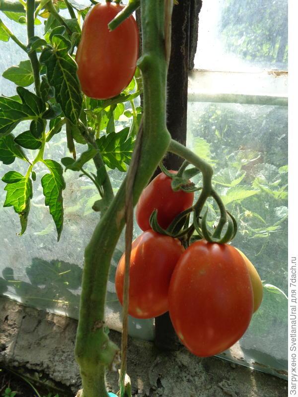 Вторая кисть - всего одна помидорка.