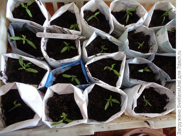 13.03.18 рассадила томаты по индивидуальным емкостям.