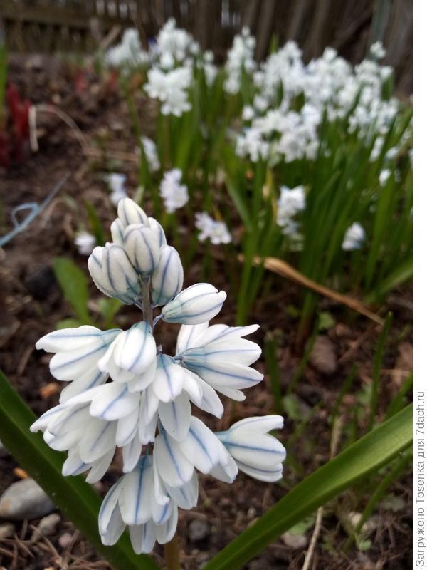 Пушкиния нежна, как весна