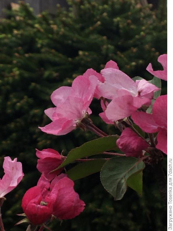 Цвет яблони Недзвецкого
