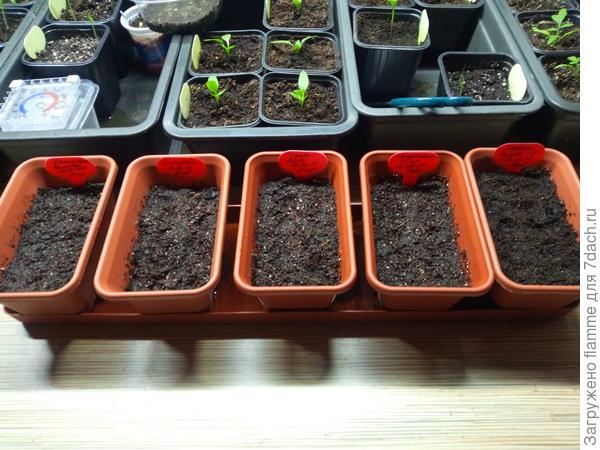 посев томатов