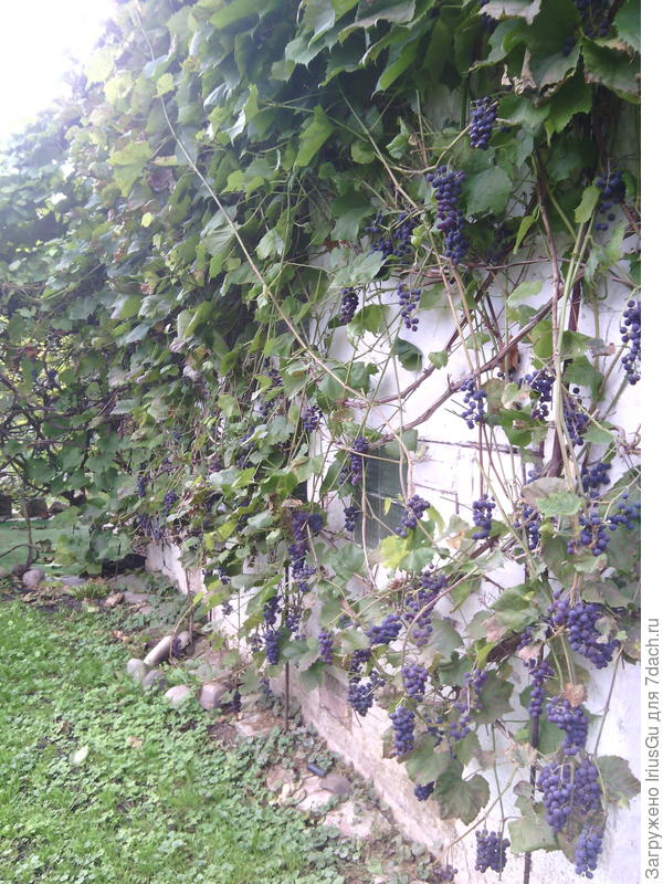 Виноград на стене сарая