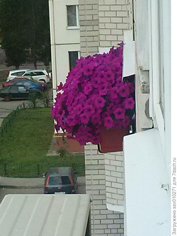 """фото от 5-6 июня семена """"Джоконда"""" от Аэлиты"""