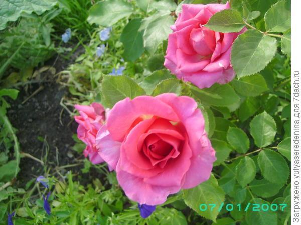 А это моя красавица роза.