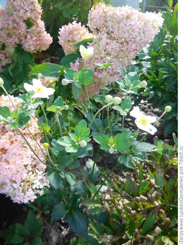 Осенний дуэт метельчатой гортензии и анемоны гибридной Вирвилд.