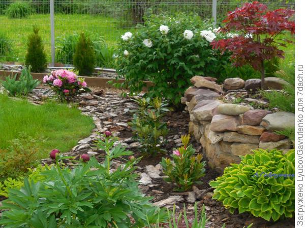 Вместе с древовидным пионом и рододендронами клён придаёт восточный акцент Дальнему цветнику.