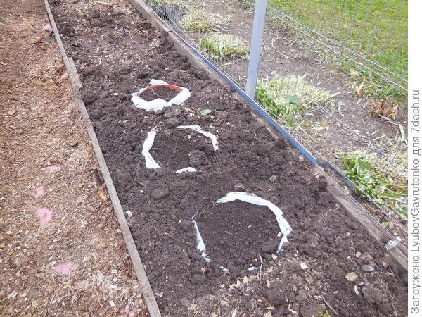 Так я их прикопала в грунт, но это пока ещё под снегом!