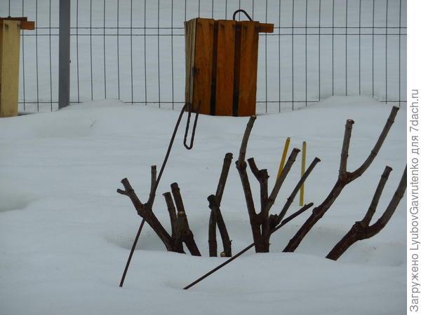 Так куст Ваниль Фрез был обрезан ещё по снегу.