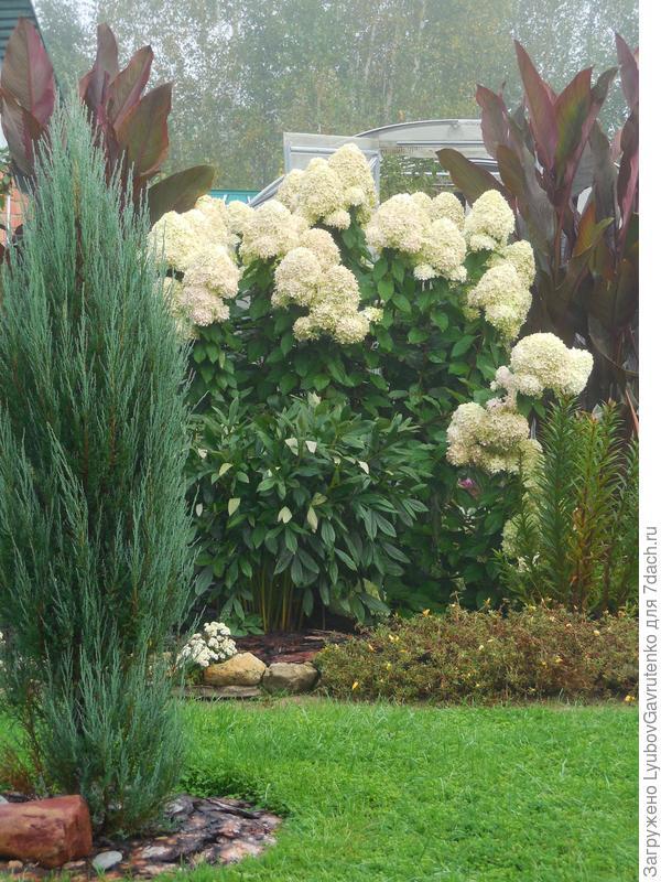 Сорт Лаймлайт в сентябрьском цветнике