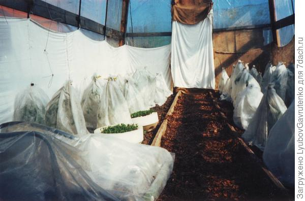 Вот этой фотке около 20 лет - ещё старая теплица. Томаты подросли и были фиксированы к леске, но в июне были сильные заморозки - так мы растения спасали)))