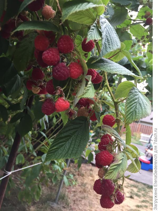Собираю урожай июня по октябрь.Первый урожай с прошлогодних побегов. В это же время подрастает молодая поросль, которая начинает плодоносить в августе.