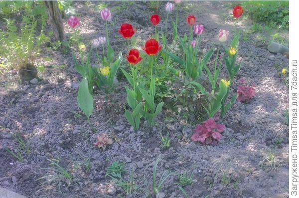 Качество фото ужасное. но видно, что тюльпаны изрядно опережают астильбы и хосты. Когда будут отцветать, их листву прикроют подросшие соседи. Крокусы уже отошли.