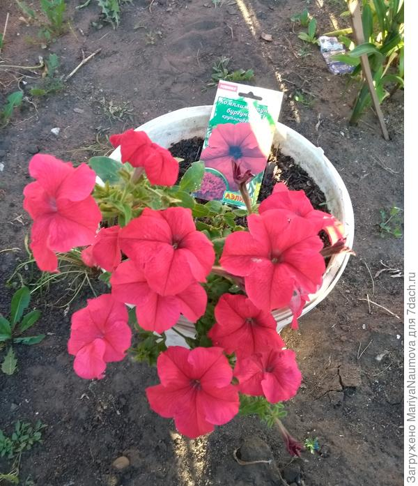 Моя звездочка,её цветы просто завораживают.К сожалению фотоаппарат не передает всей красоты