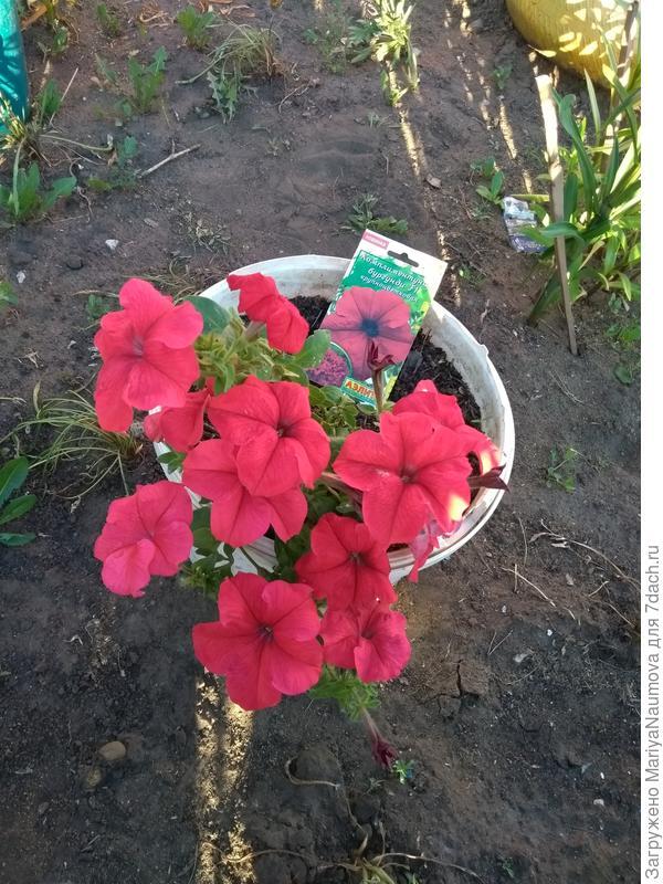 Цветы всё крупные,мелких не было ни одного,ярко алого цвета.