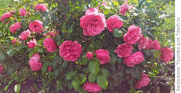 Роза Leonardo da Vinci от Meilland.
