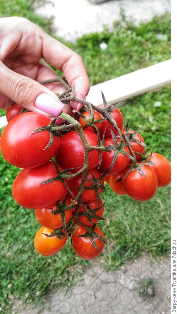 """Первые томаты в начале июля. Гибрид """"Черри Ира""""."""
